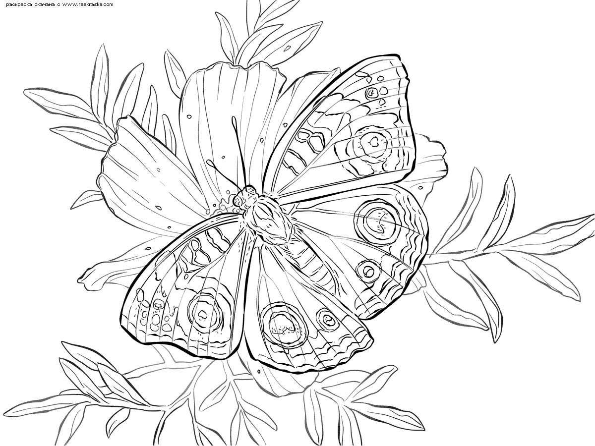 Раскраска Бабочка на цветке. Раскраска бабочка
