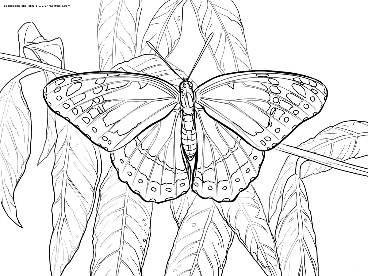 Раскраска Бабочка на ветке. Раскраска бабочка