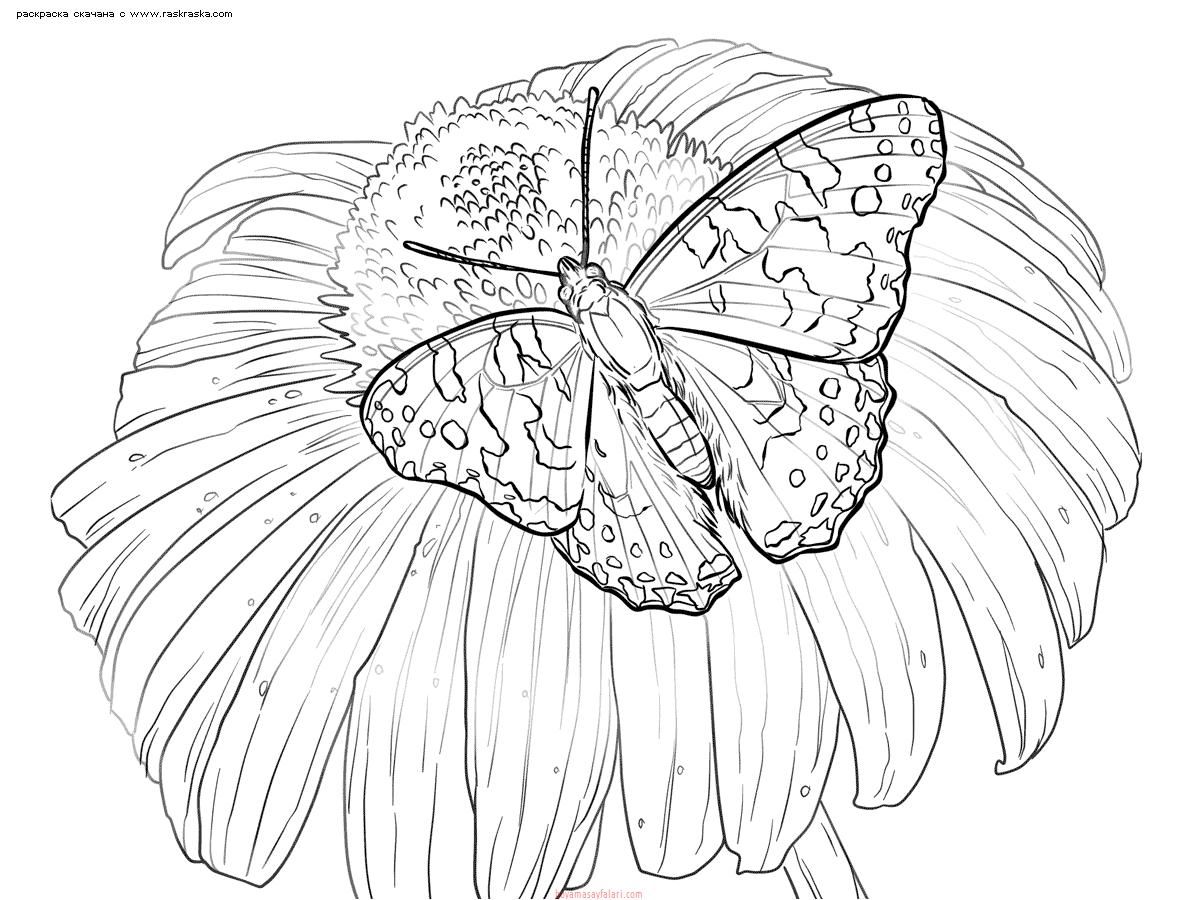 Раскраска Бабочка на ромашке. Раскраска бабочка