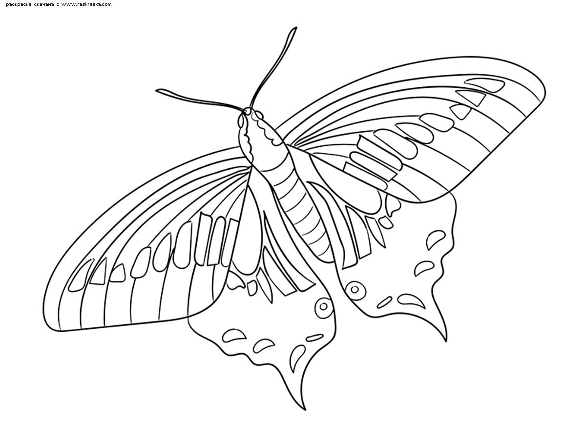 Раскраска Бабочка . Раскраска бабочка