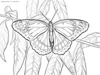 Бабочка на ветке - скачать и распечатать раскраску. Раскраска бабочка
