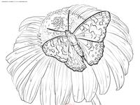 Бабочка на ромашке - скачать и распечатать раскраску. Раскраска бабочка
